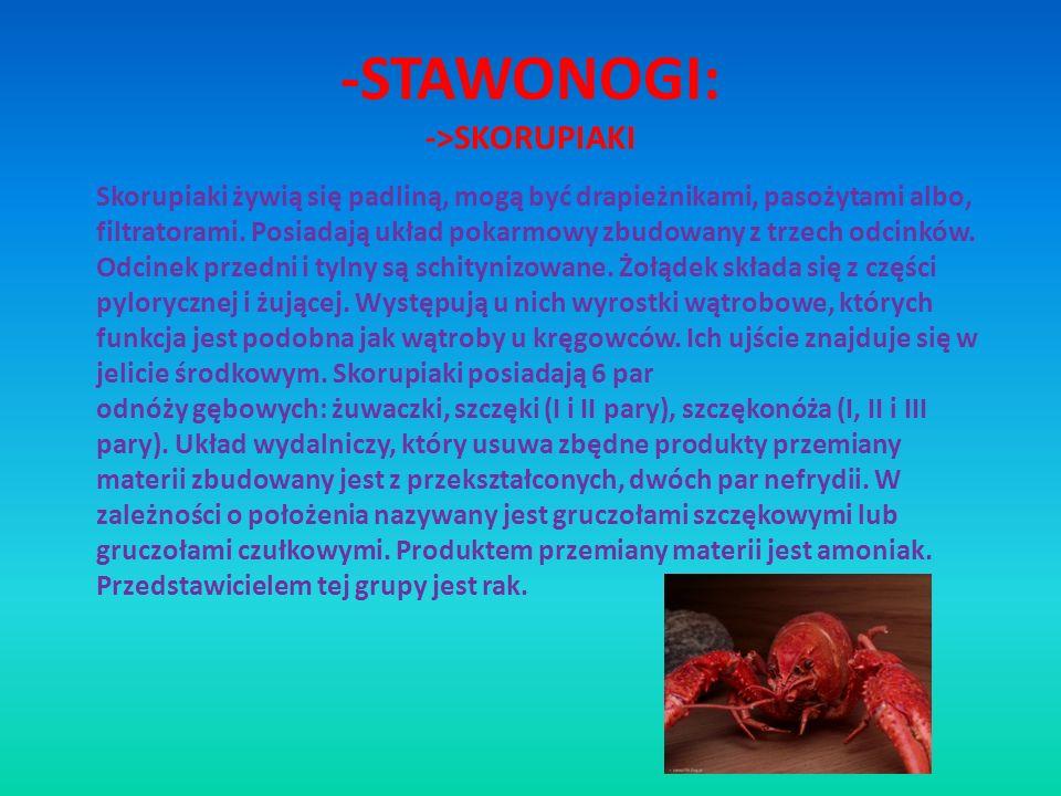 -STAWONOGI: ->SKORUPIAKI Skorupiaki żywią się padliną, mogą być drapieżnikami, pasożytami albo, filtratorami. Posiadają układ pokarmowy zbudowany z tr