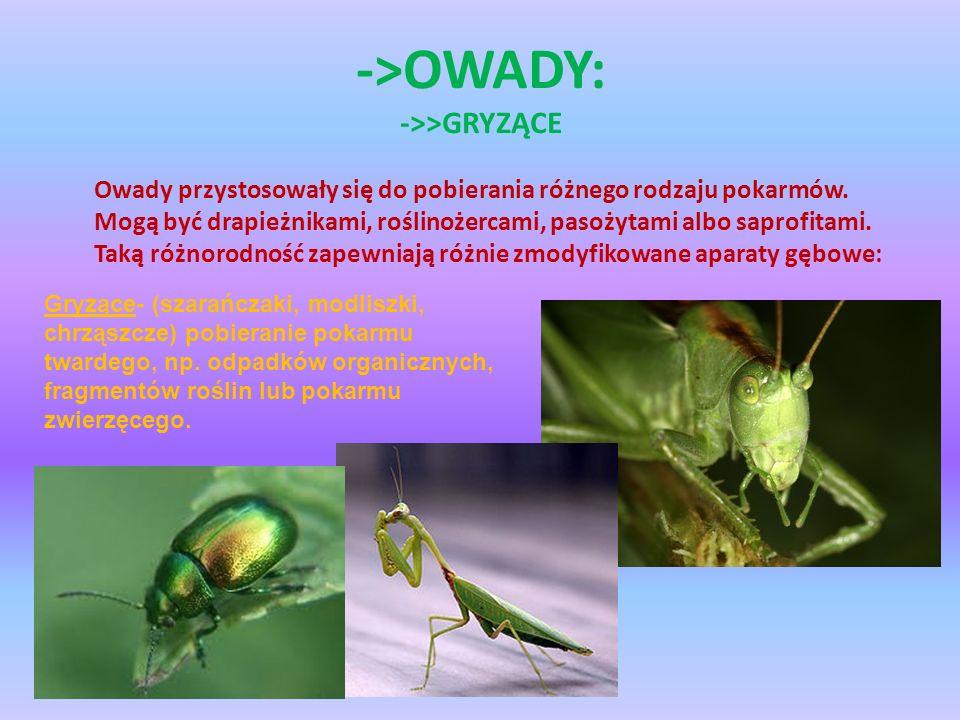 ->OWADY: ->>GRYZĄCE Owady przystosowały się do pobierania różnego rodzaju pokarmów. Mogą być drapieżnikami, roślinożercami, pasożytami albo saprofitam