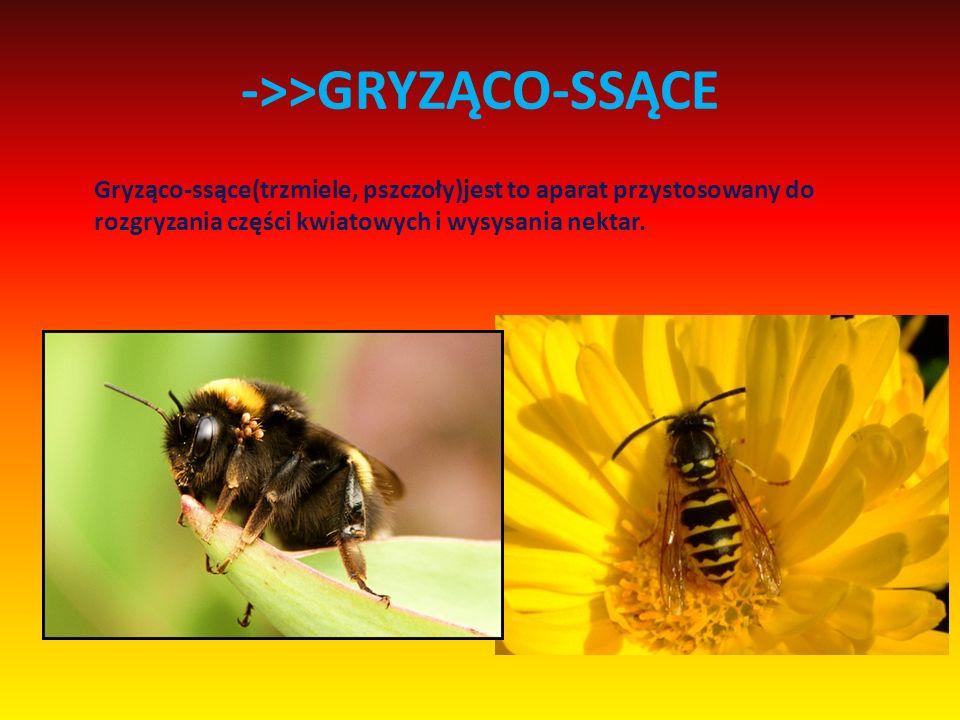 ->>GRYZĄCO-SSĄCE Gryząco-ssące(trzmiele, pszczoły)jest to aparat przystosowany do rozgryzania części kwiatowych i wysysania nektar.