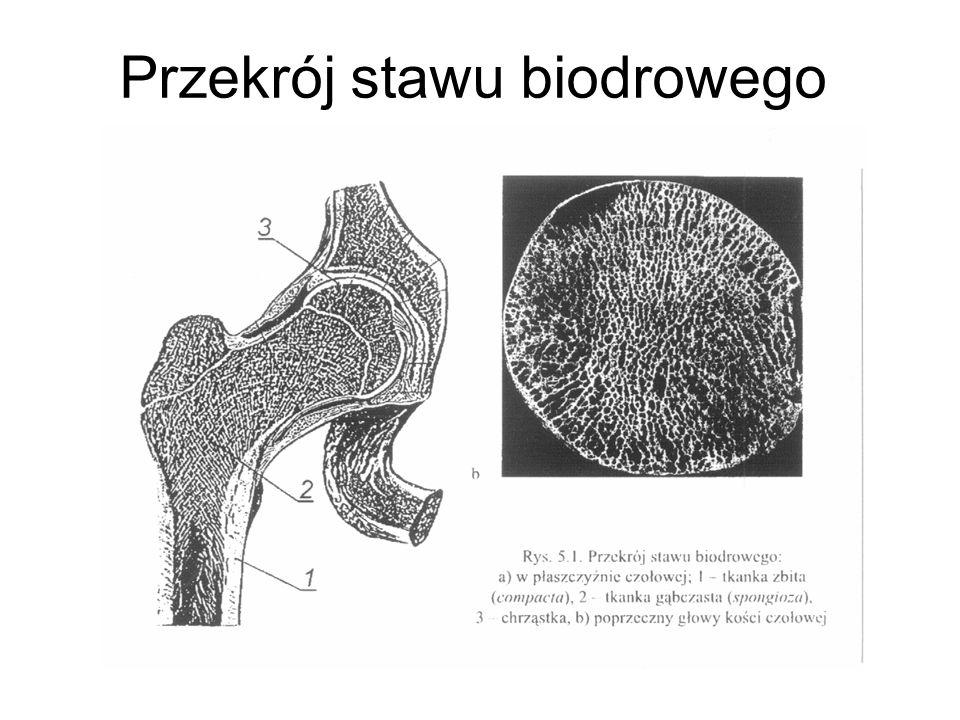 Przekrój stawu biodrowego