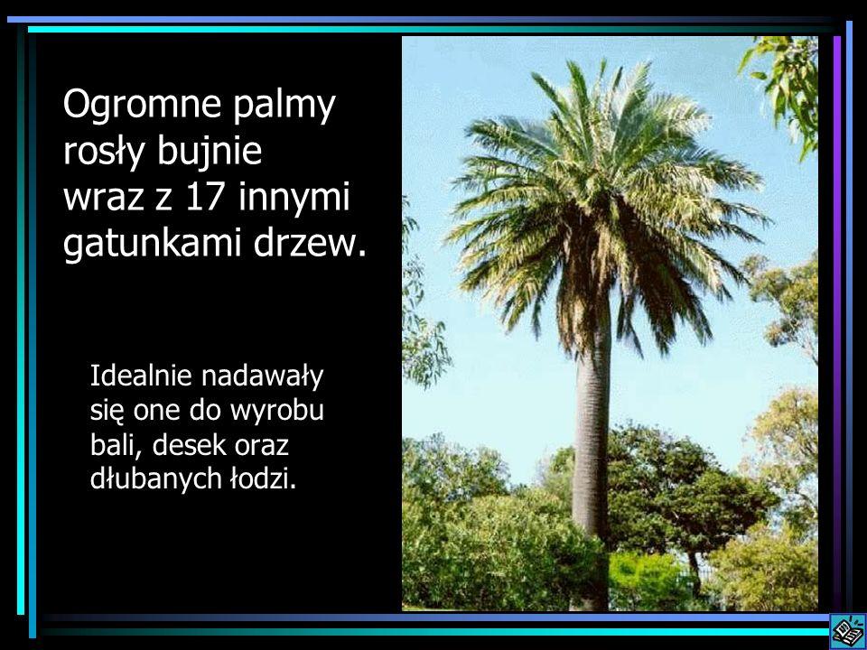 Ogromne palmy rosły bujnie wraz z 17 innymi gatunkami drzew. Idealnie nadawały się one do wyrobu bali, desek oraz dłubanych łodzi.