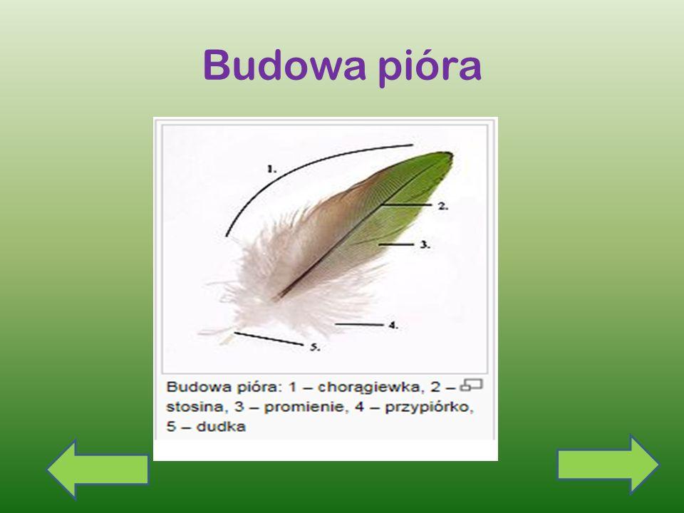 Skóra ptaków Skóra ptaków jest cienka i elastyczna, pozbawiona gruczołów, pokryta piórami Wyjątkiem jest gruczoł kuprowy, którego wydzielina służy do namaszczania piór, dzięki czemu nie nasiąkają wodą.
