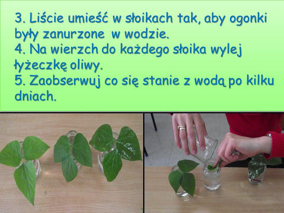 3. Liście umieść w słoikach tak, aby ogonki były zanurzone w wodzie. 4. Na wierzch do każdego słoika wylej łyżeczkę oliwy. 5. Zaobserwuj co się stanie