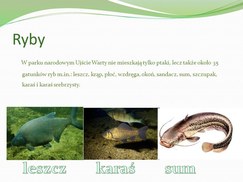 Ryby W parku narodowym Ujście Warty nie mieszkają tylko ptaki, lecz także około 35 gatunków ryb m.in.: leszcz, krąp, płoć, wzdręga, okoń, sandacz, sum