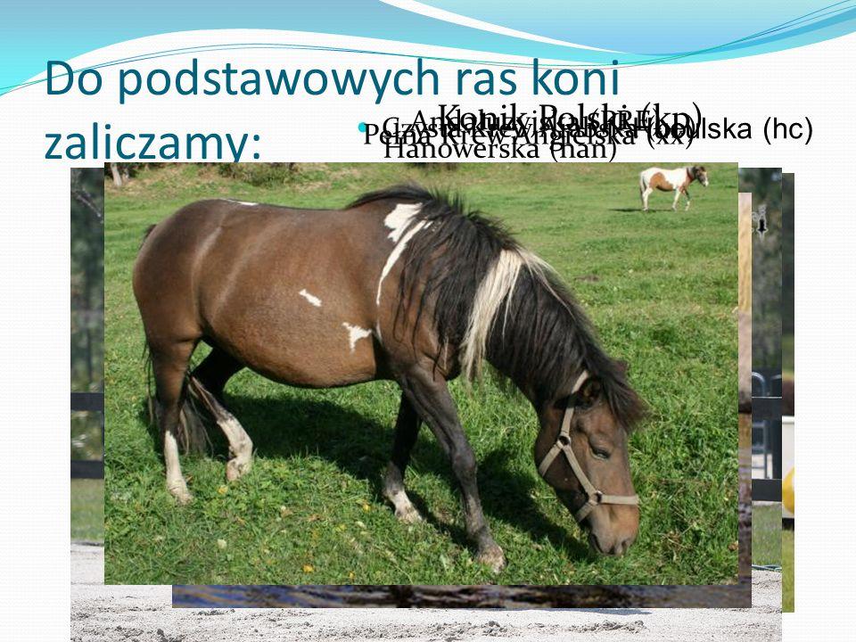 Do podstawowych ras koni zaliczamy: Czysta Krew Arabska (oo) Pełna Krew Angielska (xx) Hanowerska (han) Andaluzyjska (PRE) Konik Polski (kp) Huculska
