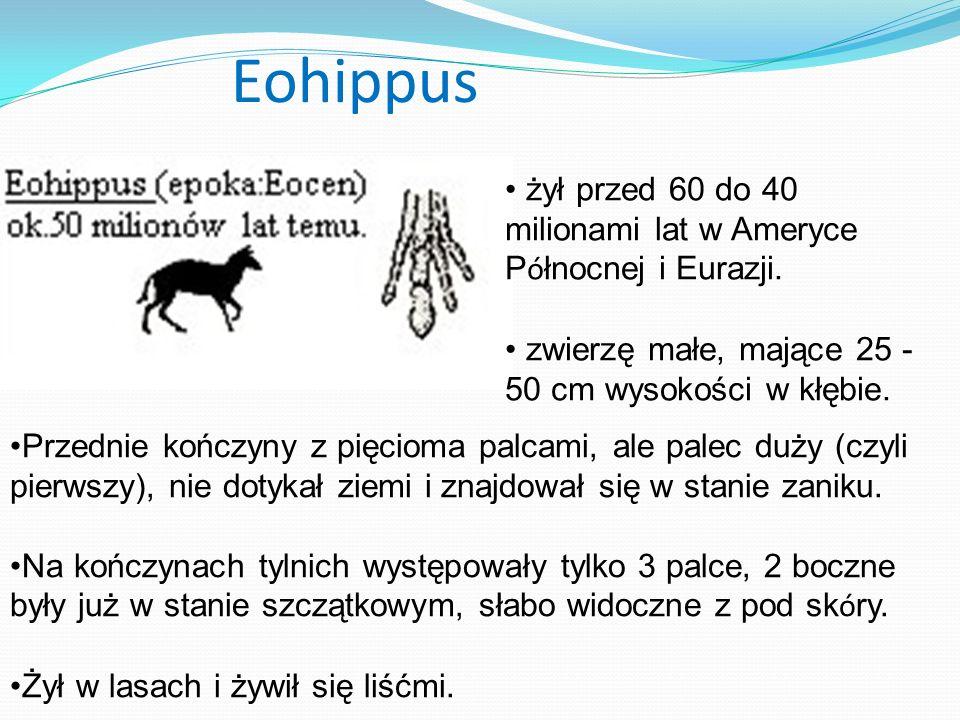 Eohippus Przednie kończyny z pięcioma palcami, ale palec duży (czyli pierwszy), nie dotykał ziemi i znajdował się w stanie zaniku. Na kończynach tylni