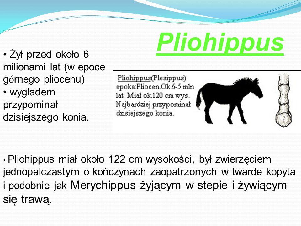 Żył przed około 6 milionami lat (w epoce g ó rnego pliocenu) wygladem przypominał dzisiejszego konia. Pliohippus miał około 122 cm wysokości, był zwie