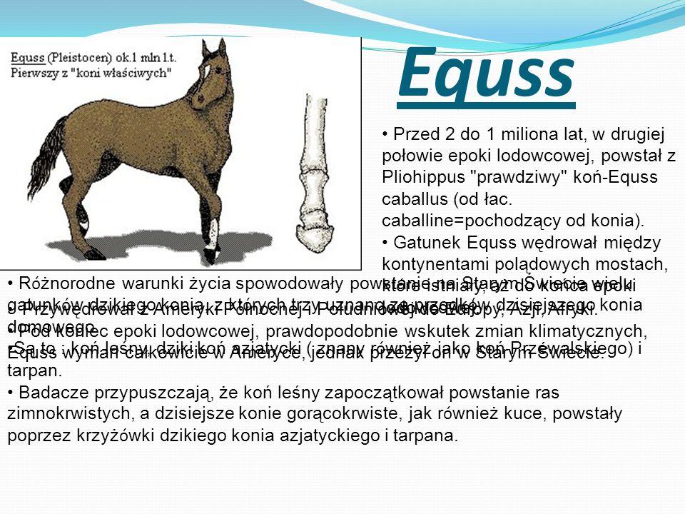 Equss Przed 2 do 1 miliona lat, w drugiej połowie epoki lodowcowej, powstał z Pliohippus
