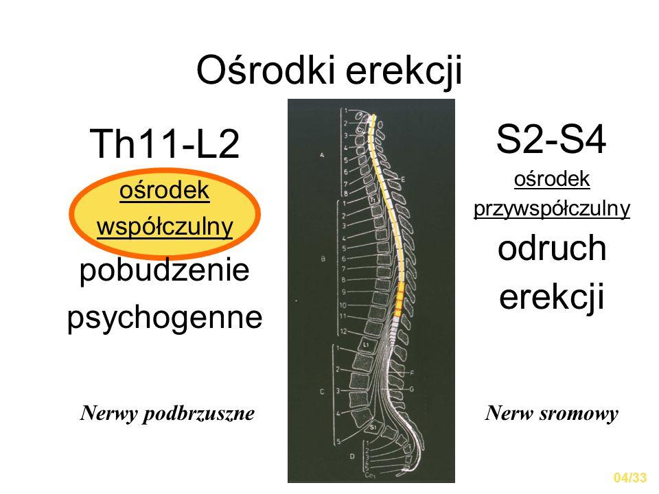 Ośrodki erekcji Th11-L2 ośrodek współczulny pobudzenie psychogenne S2-S4 ośrodek przywspółczulny odruch erekcji Nerwy podbrzuszneNerw sromowy 04/33