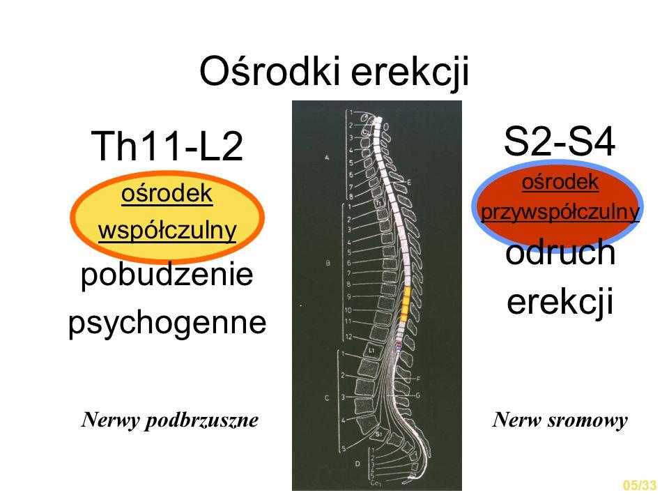 Ośrodki erekcji Th11-L2 ośrodek współczulny pobudzenie psychogenne S2-S4 ośrodek przywspółczulny odruch erekcji Nerwy podbrzuszneNerw sromowy 05/33