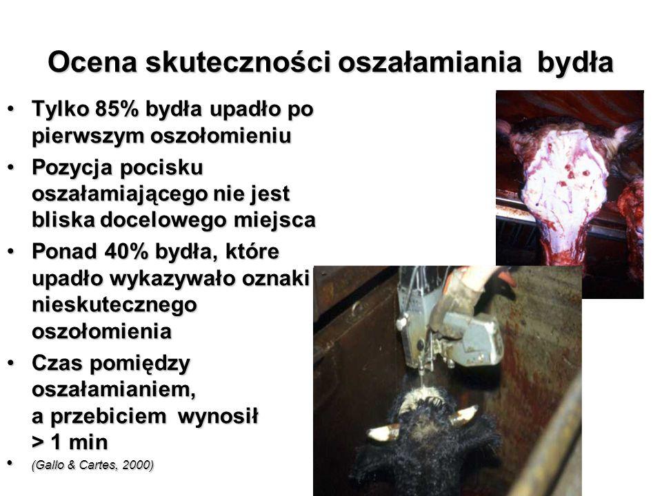 Ocena skuteczności oszałamiania bydła Tylko 85% bydła upadło po pierwszym oszołomieniuTylko 85% bydła upadło po pierwszym oszołomieniu Pozycja pocisku