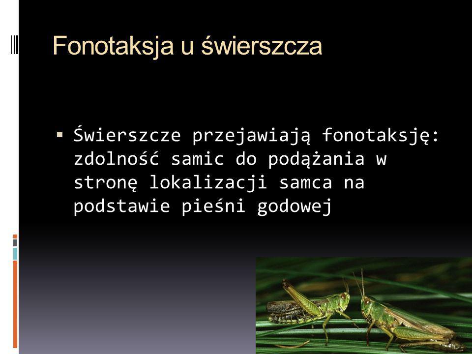 Fonotaksja u świerszcza Świerszcze przejawiają fonotaksję: zdolność samic do podążania w stronę lokalizacji samca na podstawie pieśni godowej