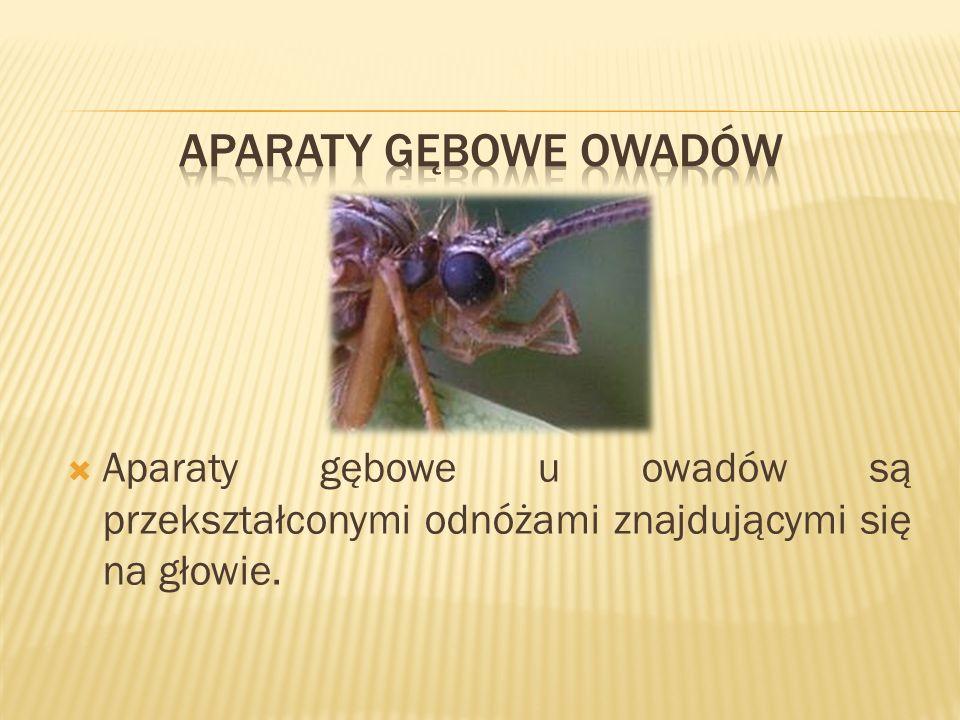 Aparaty gębowe u owadów są przekształconymi odnóżami znajdującymi się na głowie.
