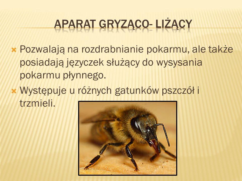 Pozwalają na rozdrabnianie pokarmu, ale także posiadają języczek służący do wysysania pokarmu płynnego. Występuje u różnych gatunków pszczół i trzmiel