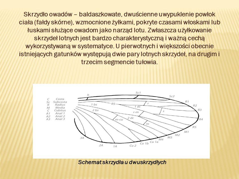 Skrzydło owadów – baldaszkowate, dwuścienne uwypuklenie powłok ciała (fałdy skórne), wzmocnione żyłkami, pokryte czasami włoskami lub łuskami służące