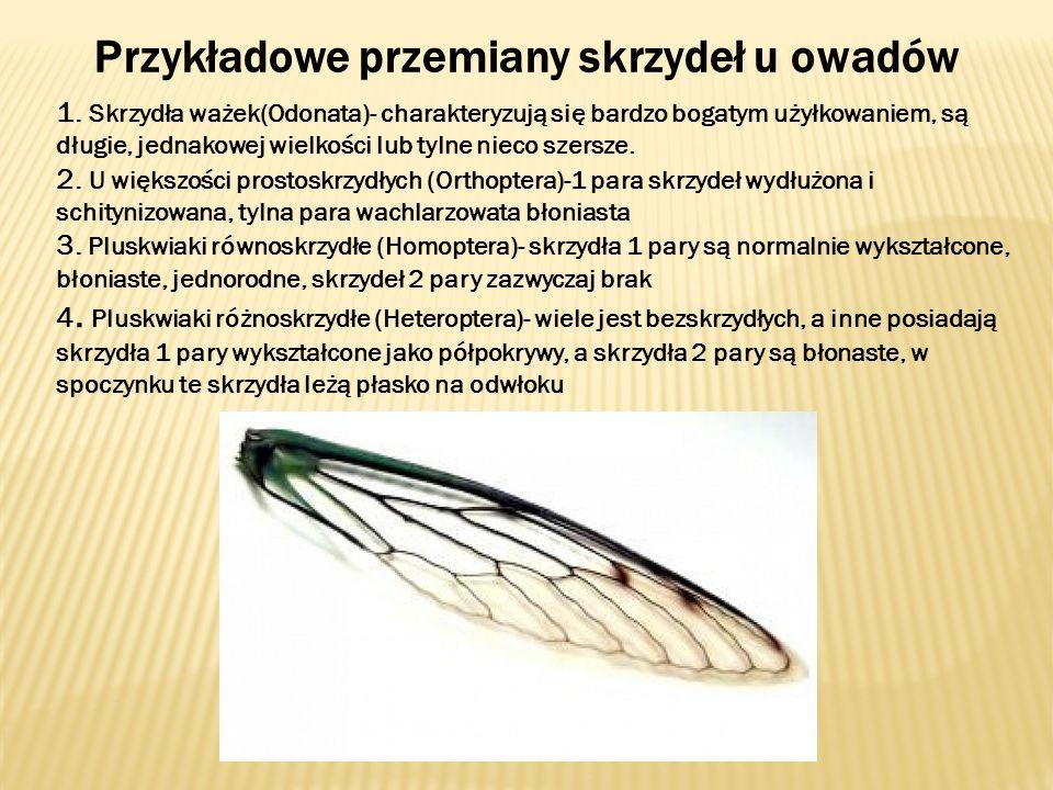 Przykładowe przemiany skrzydeł u owadów 1. Skrzydła ważek(Odonata)- charakteryzują się bardzo bogatym użyłkowaniem, są długie, jednakowej wielkości lu