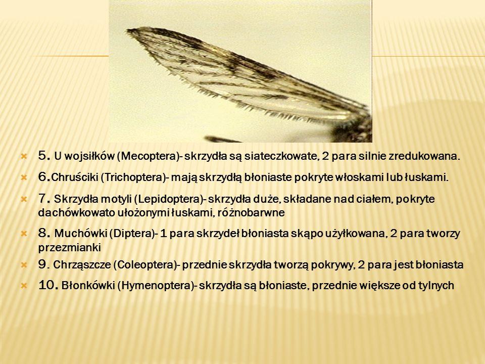 5. U wojsiłków (Mecoptera)- skrzydła są siateczkowate, 2 para silnie zredukowana. 6. Chruściki (Trichoptera)- mają skrzydłą błoniaste pokryte włoskami