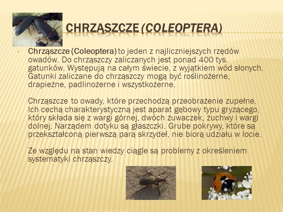 Chrząszcze (Coleoptera) to jeden z najliczniejszych rzędów owadów. Do chrząszczy zaliczanych jest ponad 400 tys. gatunków. Występują na całym świecie,
