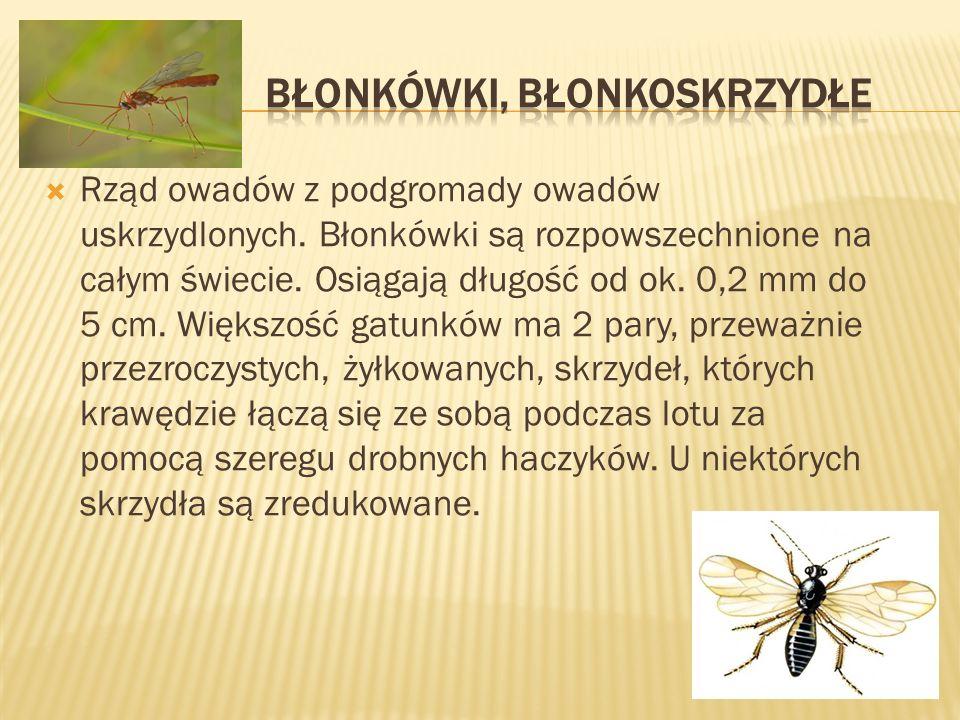 Rząd owadów z podgromady owadów uskrzydlonych. Błonkówki są rozpowszechnione na całym świecie. Osiągają długość od ok. 0,2 mm do 5 cm. Większość gatun