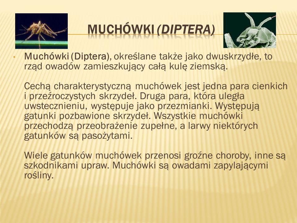 Muchówki (Diptera), określane także jako dwuskrzydłe, to rząd owadów zamieszkujący całą kulę ziemską. Cechą charakterystyczną muchówek jest jedna para