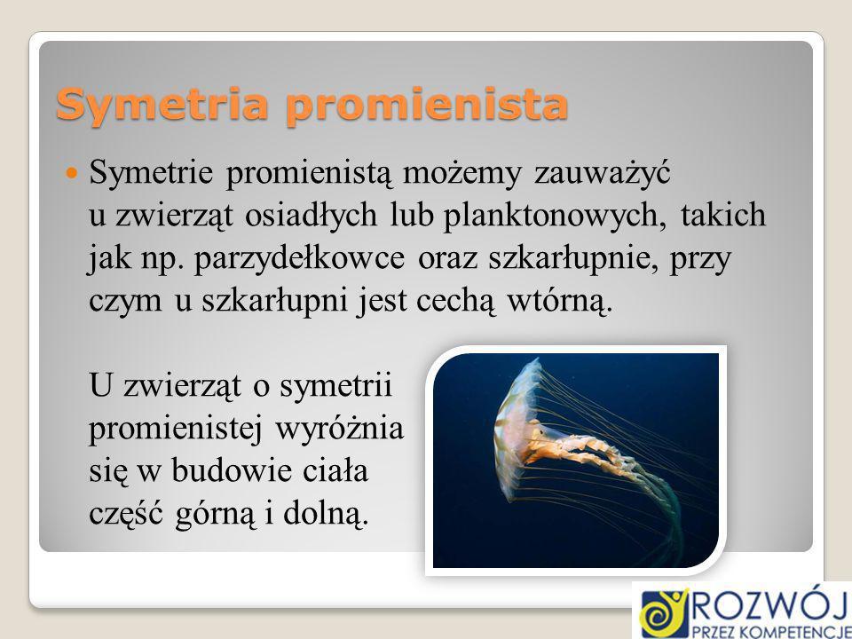 Symetria promienista Symetrie promienistą możemy zauważyć u zwierząt osiadłych lub planktonowych, takich jak np. parzydełkowce oraz szkarłupnie, przy