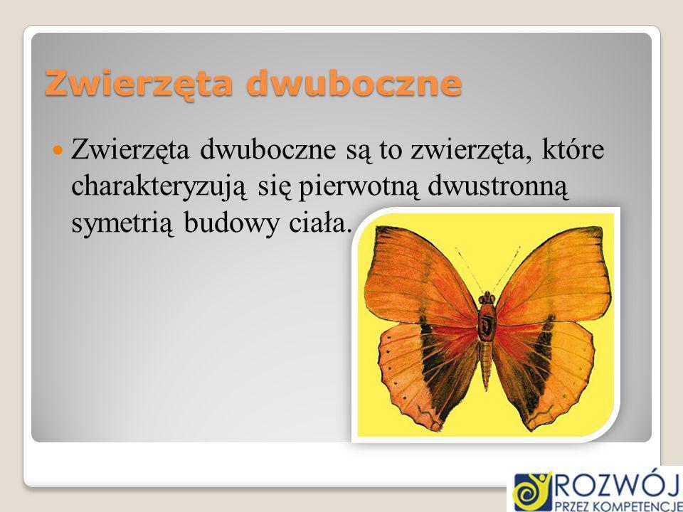 Zwierzęta dwuboczne Zwierzęta dwuboczne są to zwierzęta, które charakteryzują się pierwotną dwustronną symetrią budowy ciała.