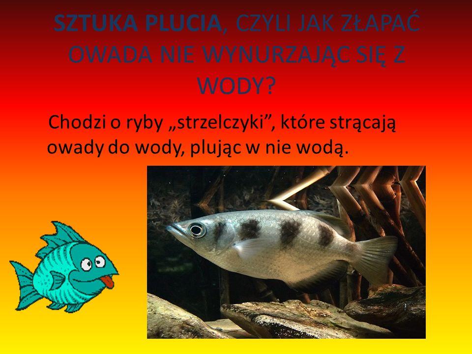 SZTUKA PLUCIA, CZYLI JAK ZŁAPAĆ OWADA NIE WYNURZAJĄC SIĘ Z WODY? Chodzi o ryby strzelczyki, które strącają owady do wody, plując w nie wodą.