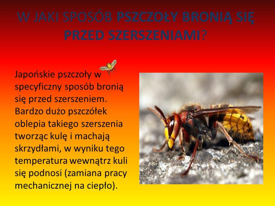 W JAKI SPOSÓB PSZCZOŁY BRONIĄ SIĘ PRZED SZERSZENIAMI? Japońskie pszczoły w specyficzny sposób bronią się przed szerszeniem. Bardzo dużo pszczółek oble