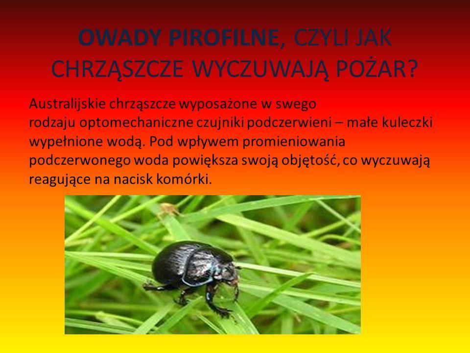 OWADY PIROFILNE, CZYLI JAK CHRZĄSZCZE WYCZUWAJĄ POŻAR? Australijskie chrząszcze wyposażone w swego rodzaju optomechaniczne czujniki podczerwieni – mał