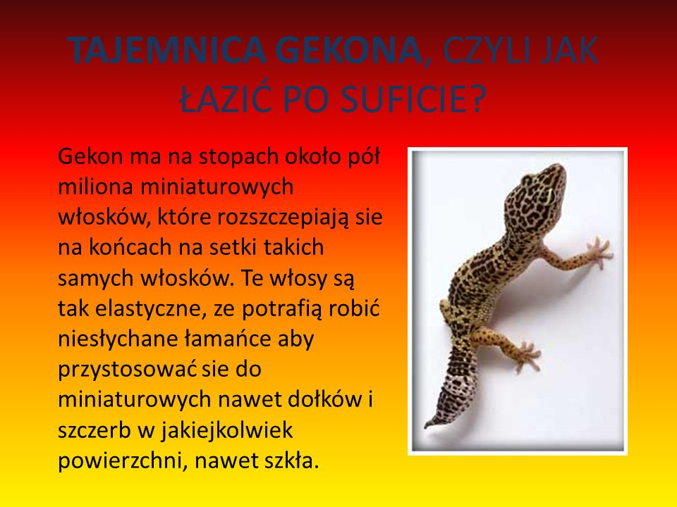 TAJEMNICA GEKONA, CZYLI JAK ŁAZIĆ PO SUFICIE.