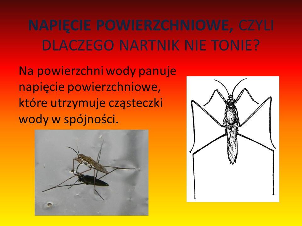 Z PERSPEKTYWY PAJĄKA Idealny kamuflaż, czyli jak widzimy pająka - Thomisusa spectabilisa.