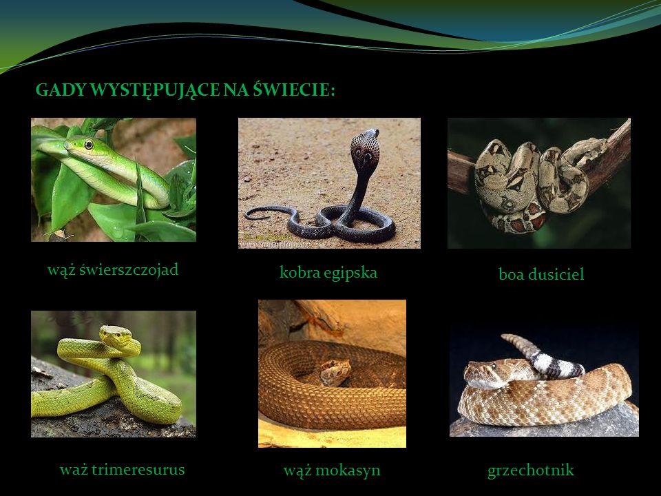GADY WYSTĘPUJĄCE NA ŚWIECIE: wąż świerszczojad kobra egipska boa dusiciel waż trimeresurus wąż mokasyngrzechotnik
