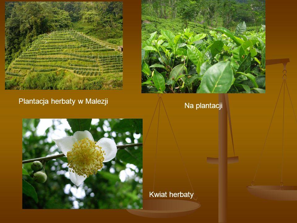 Plantacja herbaty w Malezji Na plantacji Kwiat herbaty