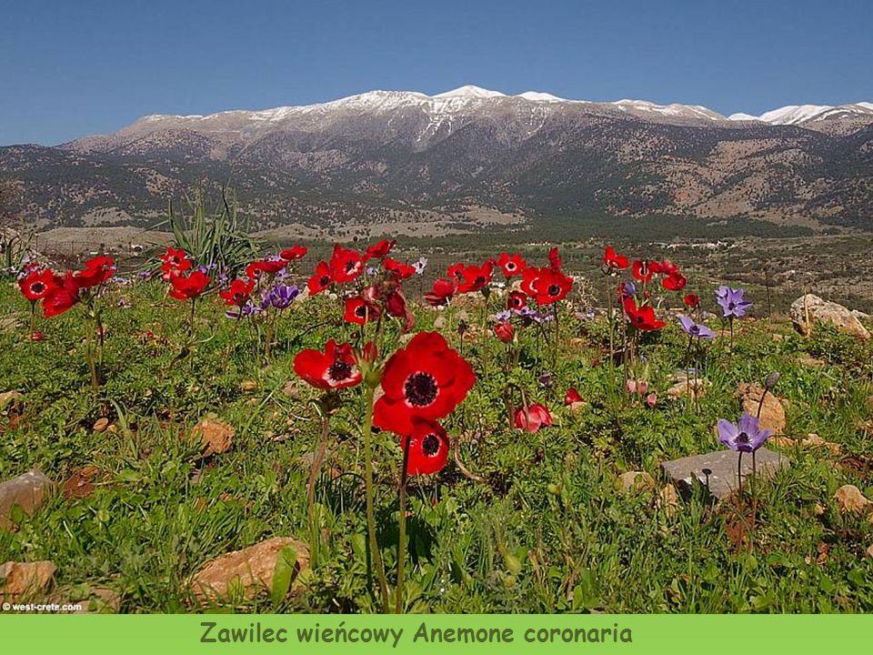 Farbownik Anchusa cespitosa (roślina endemiczna)