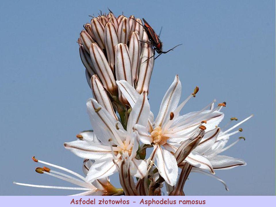 Złotnica żółta - Asphodeline lutea