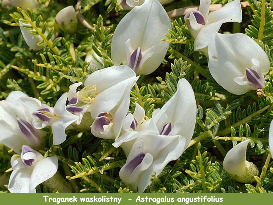 Asfodel złotowłos - Asphodelus ramosus