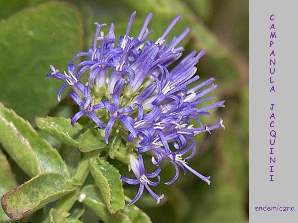 Kalikotome omszone - Calicotome villosa