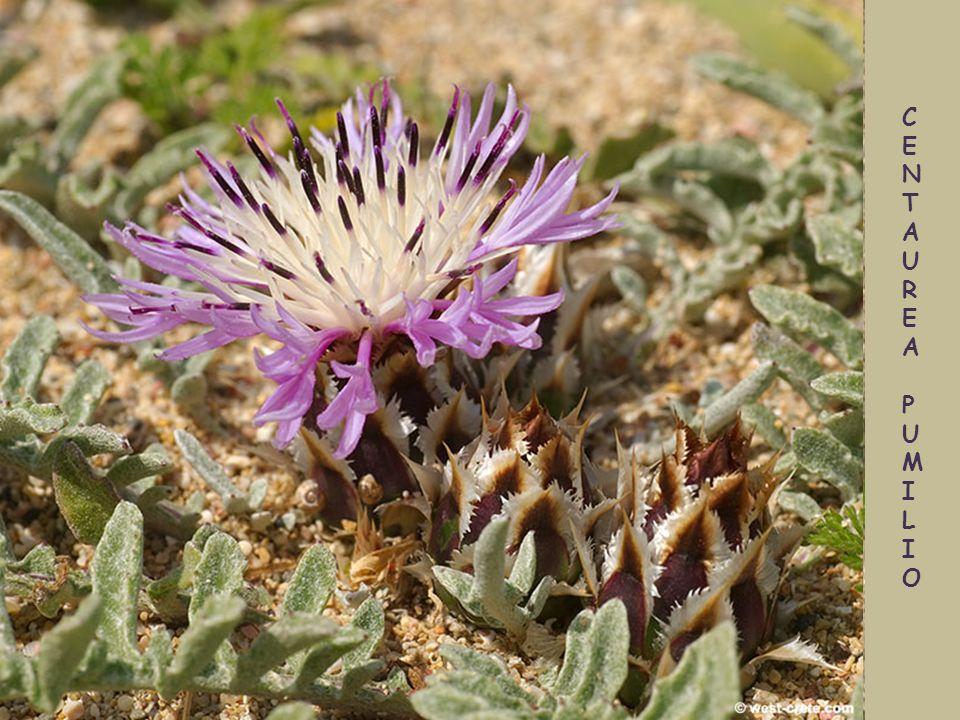 Centaurea idaea – gatunek endemiczny
