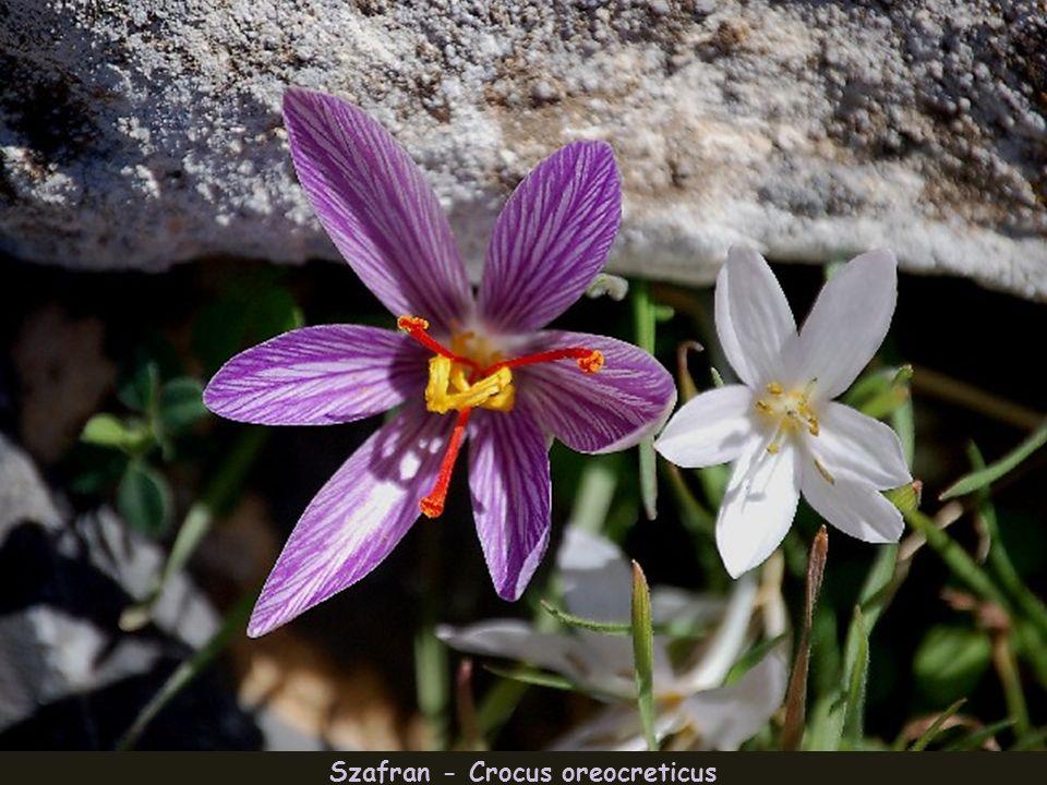 Clematis_elisabethae carolae – roślina endemiczna