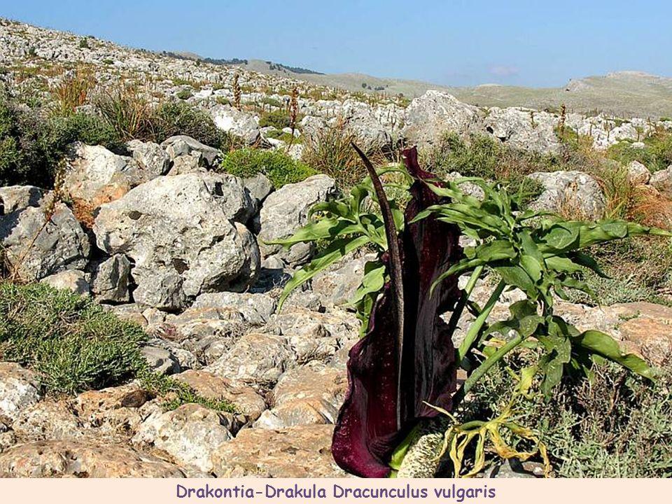 Ostróżka - Delphinium staphisagria