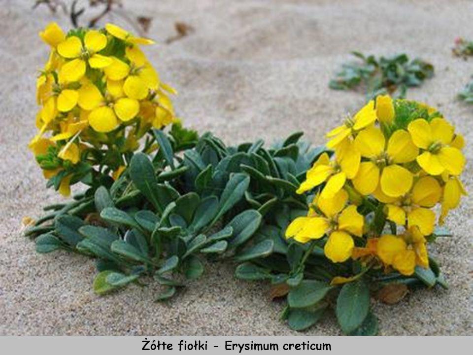 Heban kreteński Ebenus cretica, roślina endemiczna