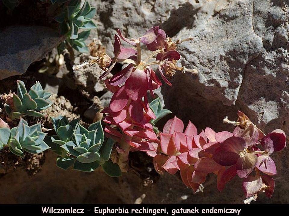 Przytulia Galium incurvum gatunek,endemiczny.
