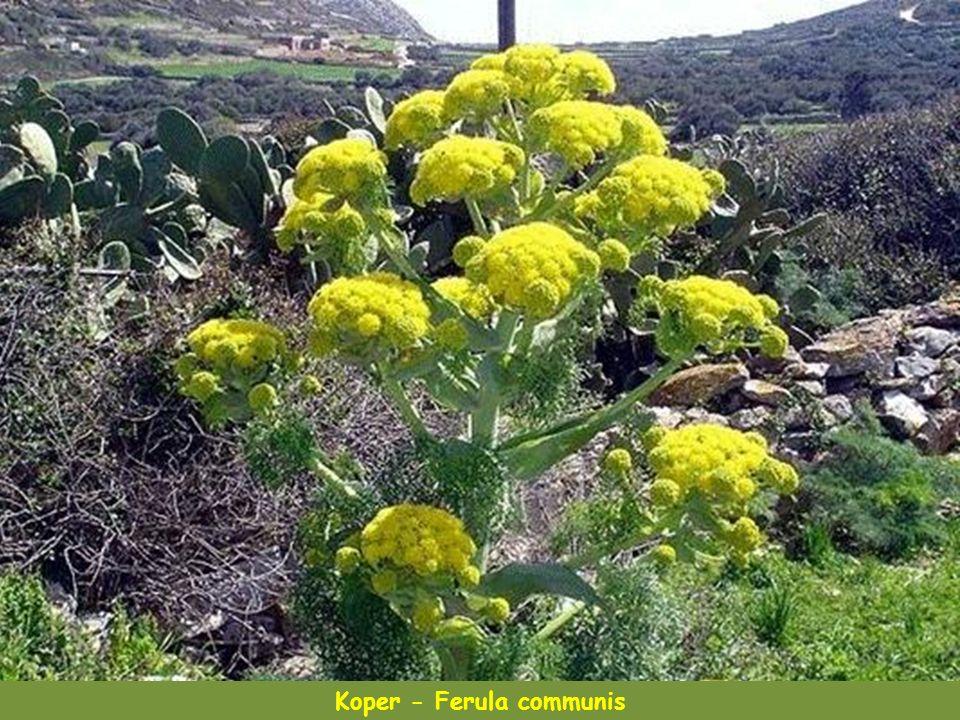 Wilczomlecz - Euphorbia rechingeri, gatunek endemiczny