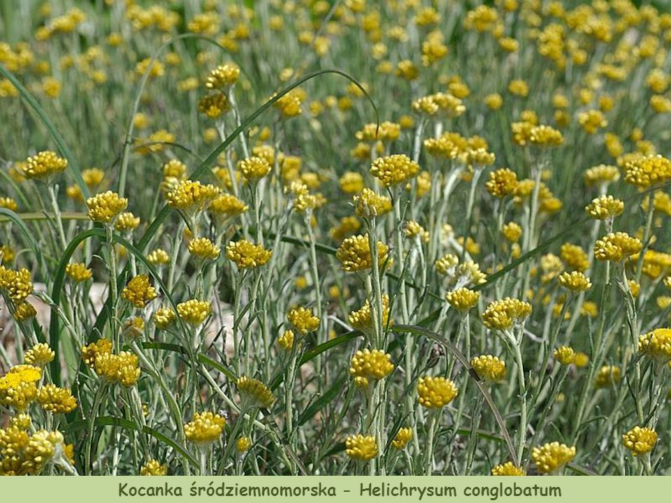 Mieczyk - Gladiolus italicus