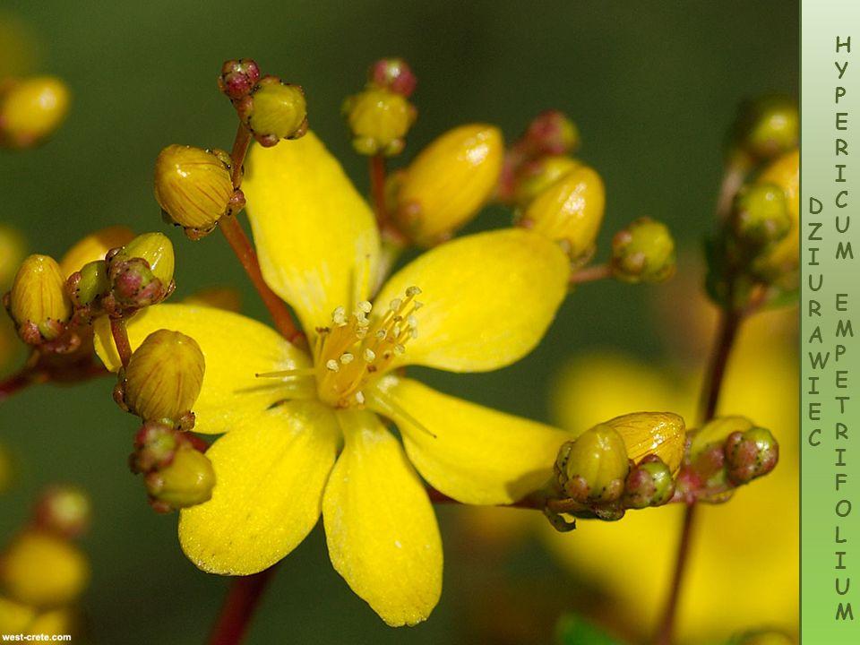 Kocanka śródziemnomorska - Helichrysum conglobatum