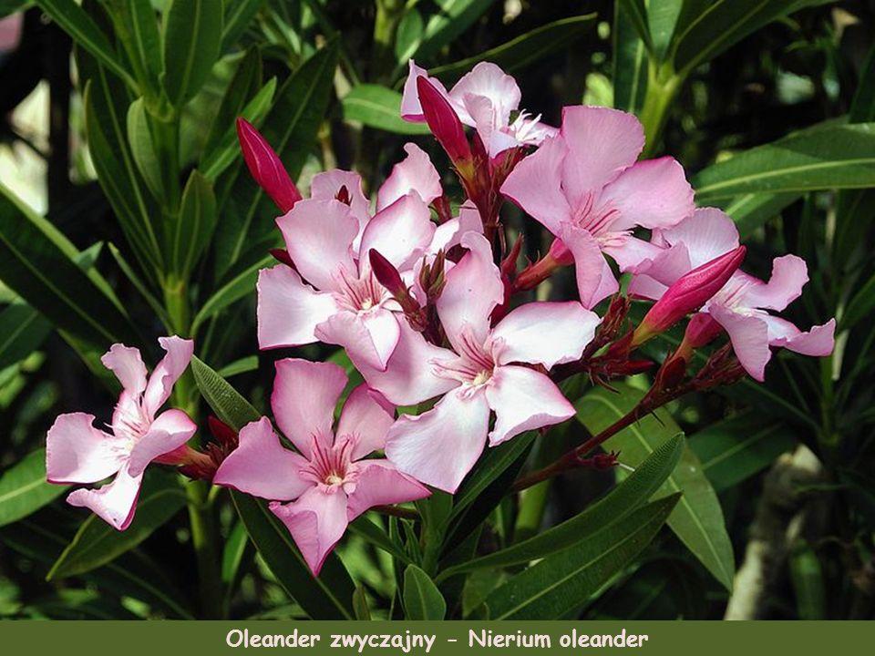 Zatrwian - Limonium graecum Mirt zwyczajny - Myrtus communisPeonia clusii, roślina endemiczna