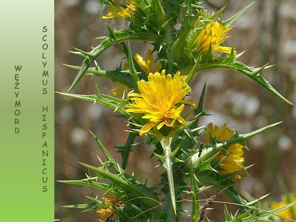 Scilla nana roślina endemiczna