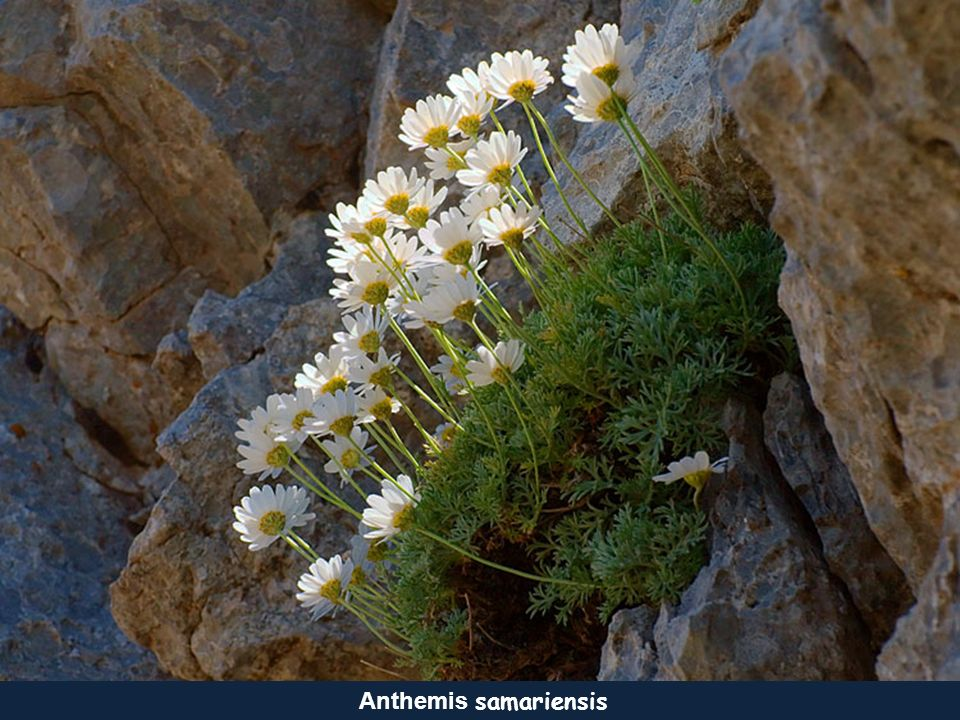 Piołun kreteński Achillia cretica Rumian - Anthemis rigida