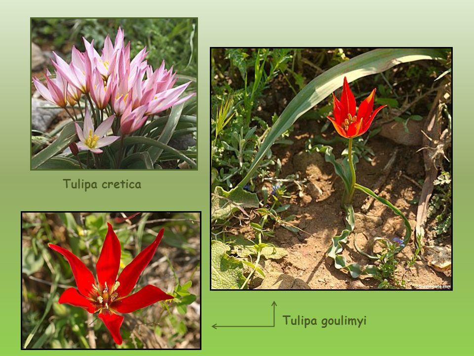 Macierzanka – Thymus capitatus