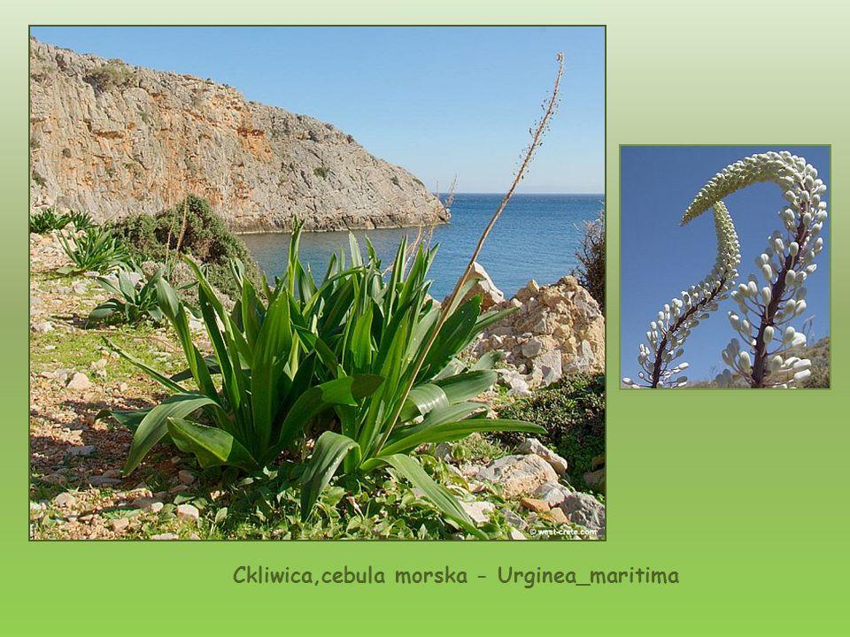 Viola Fragrans-mannia pachnaca -endemiczna